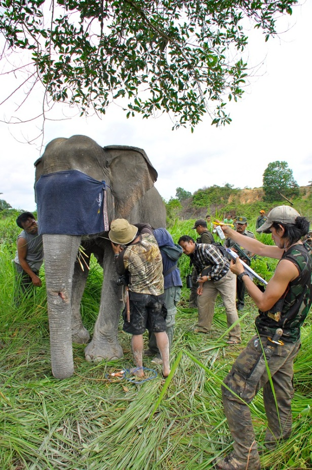 gajah wwf indonesia